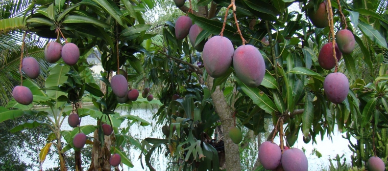 Orcelis Fitocontrol Calculates the Fertirrigation of Mango Farming